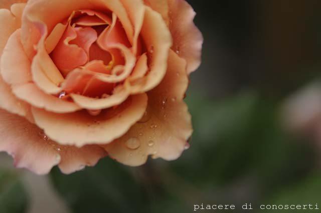 rosellina